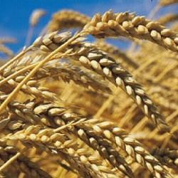 TIARET: Les céréales font recette par El-Houari Dilmi